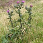 Thistle Mead
