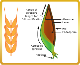 Diagram of the parts of a grain: hull, endosperm, acrospire range, rootlets